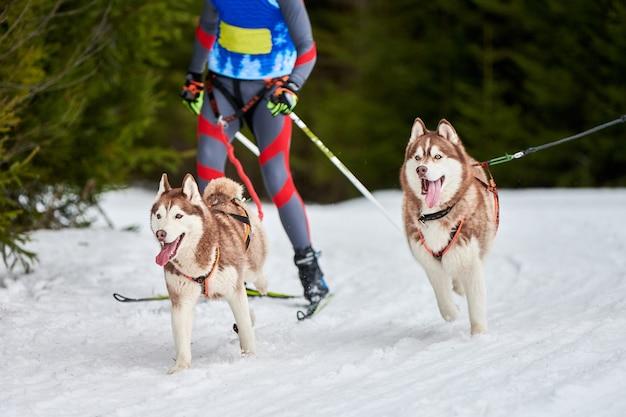 Courses de chiens skijoring. compétition de sport canin d'hiver. chien husky sibérien tire skieur