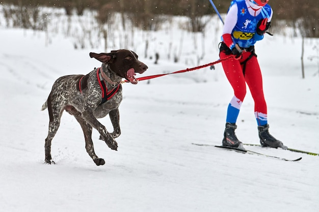 Courses de chiens skijoring. compétition de sport canin d'hiver. le chien de pointeur tire le skieur