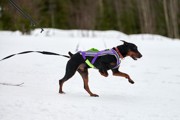 Courses de chiens skijoring. compétition de sport canin d'hiver.