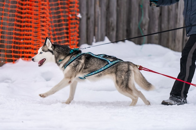 Courses de chiens de traîneau. équipe de chiens de traîneau husky dans la course du harnais et le conducteur de chien de traction. compétition de championnat de sports d'hiver.