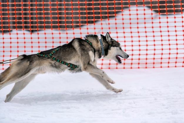 Courses de chiens de traîneau. équipe de chiens de traîneau husky dans le harnais et le conducteur de chien de traction compétition de championnat de sports d'hiver.
