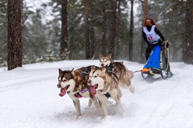 Courses de chiens de traîneau. l'équipe de chiens de traîneau husky tire un traîneau avec un conducteur de chien. concours d'hiver.