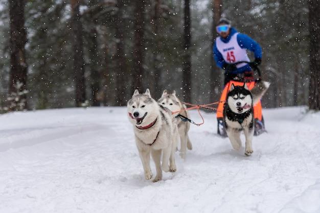 Courses de chiens de traîneau. l'équipe de chiens de traîneau husky tire un traîneau avec un musher à chiens. concours d'hiver.