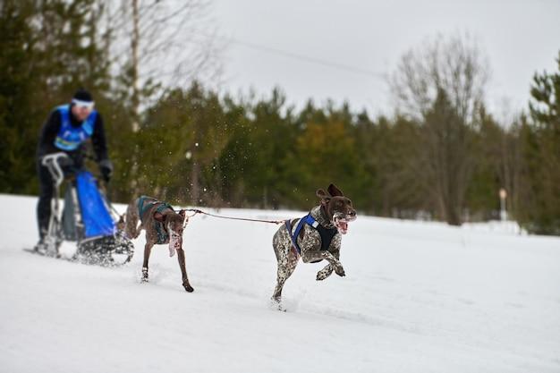 Courses de chiens de traîneau d'hiver. compétition par équipe de chiens de traîneau de sport. les chiens de pointeur tirent le traîneau avec musher