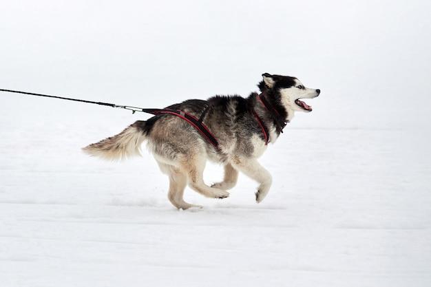 Courses de chiens de traîneau d'hiver dans les montagnes