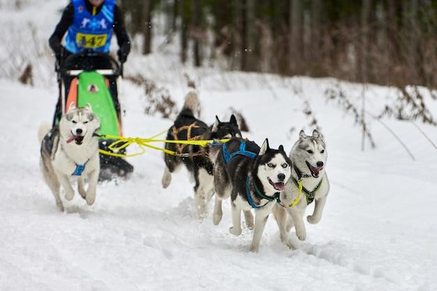 Courses de chiens de traîneau husky. compétition d'équipe de traîneau de sport canin d'hiver. chiens husky sibériens tirent un traîneau avec musher