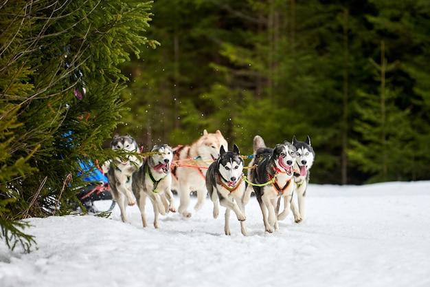 Courses de chiens de traîneau husky. compétition d'équipe de traîneau de sport canin d'hiver
