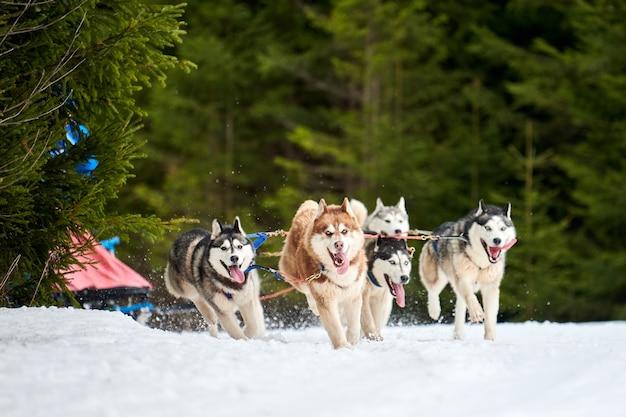 Courses de chiens de traîneau husky en hiver en hiver