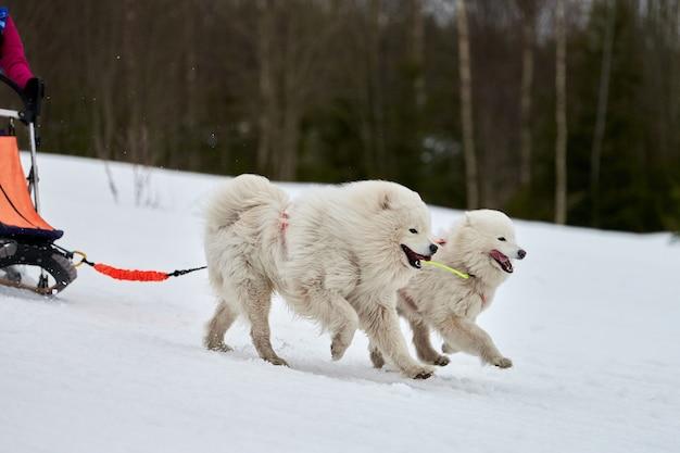 Courses de chiens de traîneau husky en hiver