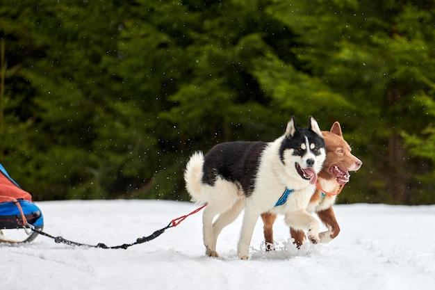 Courses de chiens de traîneau husky