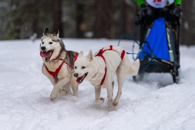 Courses de chiens de traîneaux. les chiens de traîneau husky attelés au harnais courent et tirent le conducteur. championnat de sport d'hiver.