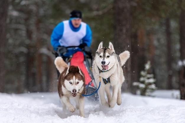 Courses de chiens de traîneaux. l'équipe de chiens de traîneau husky tire un traîneau avec un musher de chien. compétition d'hiver.