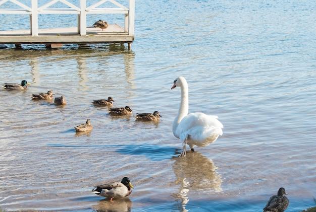 Une couvée de canards et un beau cygne blanc sont assis sur la rive du lac dans une eau claire et claire.