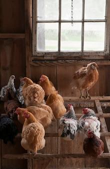 Couvée de poulets domestiques assis dans le poulailler.