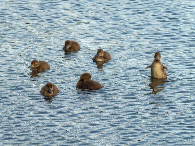 Couvée printanière de canards. petits canetons jouant sur l'eau.