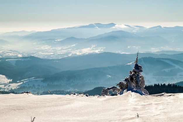 Couvert de neige courbé petit pin en montagne hivernale. paysage arctique. scène extérieure colorée, photo post-traitée de style artistique.