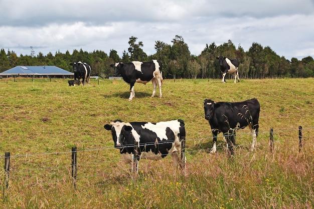 Cowe sur les collines et les champs de la nouvelle-zélande