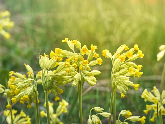 Cowslip fleurs dans la forêt de printemps.