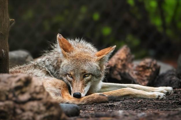 Le coyote se reposant dans son habitat