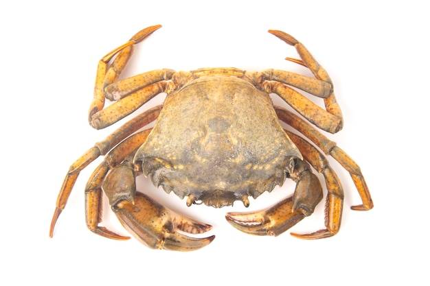 Crabe arthropode aux herbes de mer sur fond blanc