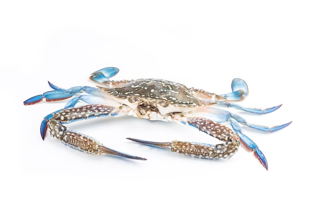 Crabe bleu isolé sur fond blanc