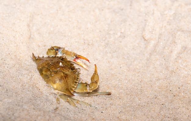 Crabe brésilien sur la plage brésilienne.