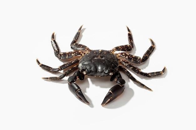 Crabe commun rivage isolé sur blanc. carcinus maenas