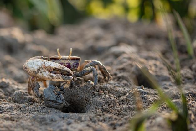 Crabe, crustacé sur sable