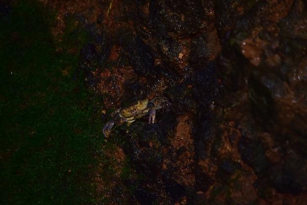 Crabe d'eau douce maltais, potamon fluviatile, nid de terrier boueux.