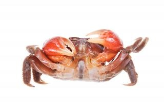 Crabe, exosquelette