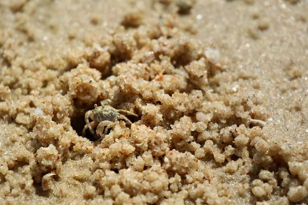 Le crabe fantôme construit une maison sur la plage.