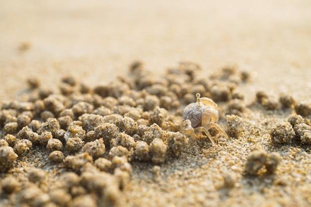 Crabe fantôme sur la plage de sable