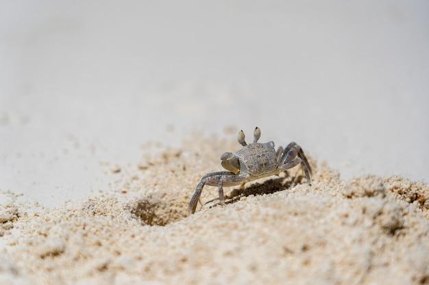 Un crabe fantôme semi-terrestre sur la plage de sable près de l'océan, zanzibar, tanzanie. il est également parfois connu sous le nom de crabe de sable.
