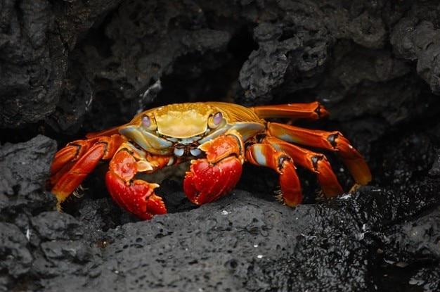 Crabe klippenkrabbe grapsus crustacés