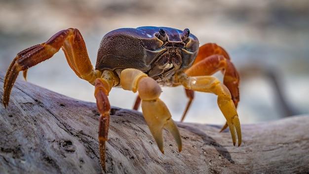 Crabe de montagne poilu rampant sur l'écorce d'un arbre