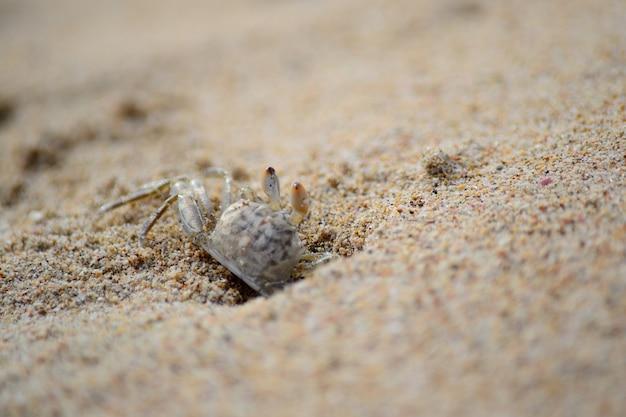 Crabe sur la plage de nilaveli, région de trincomalee, sri lanka
