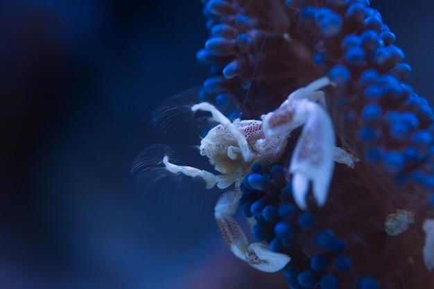 Crabe en porcelaine en symbiose avec l'anémone bleue