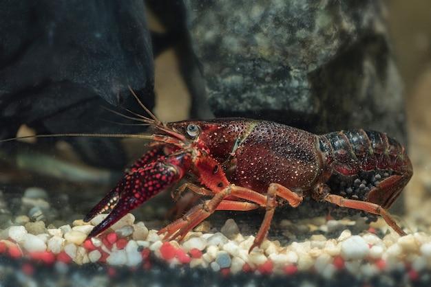 Crabe de rivière américain à l'intérieur de l'eau, écrevisses sous l'eau