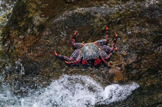 Crabe rouge sur un rocher avec la mer s'écraser sur le rocher