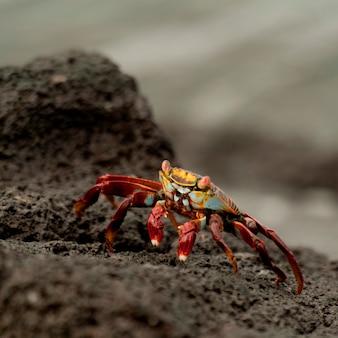 Crabe de sally lightfoot aux couleurs vives (grapsus grapsus) sur une plage rocheuse, punta espinoza, île fernandina, îles galapagos, équateur