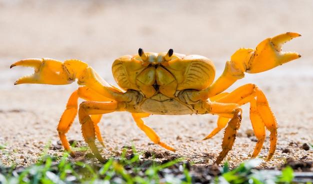 Le crabe terrestre a placé ses griffes. angle inhabituel. cuba.