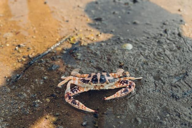 Crabe tigre marchant à marée basse dans la forêt de mangrove à l'ombre humaine.