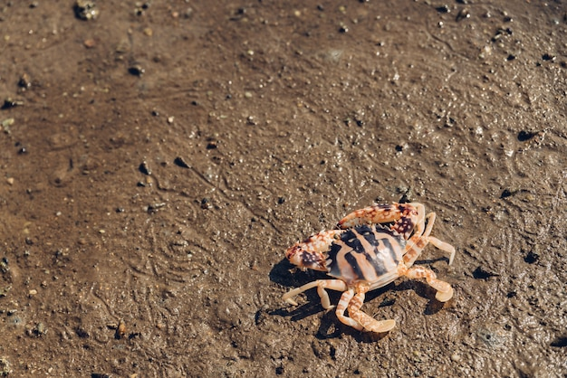 Crabe tigre marchant à marée basse dans la forêt de mangroves de la baie de toong pronge