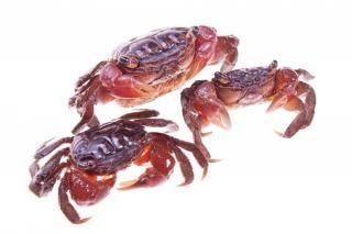 Crabes, exosquelette