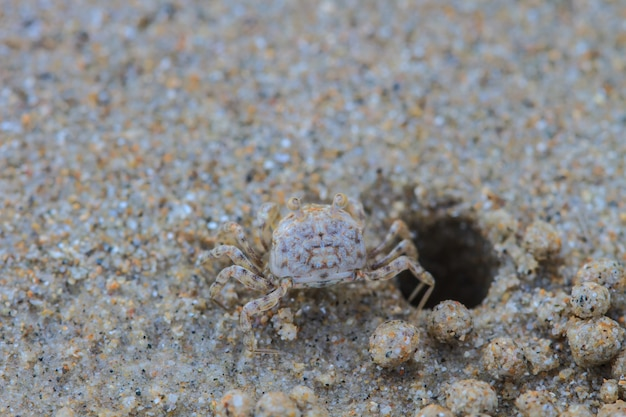 Crabes fantômes