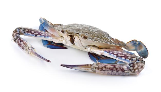 Crabes nageurs bleus sur mur blanc