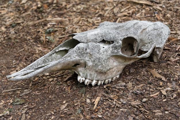 Crâne altéré d'un cheval mort dans la forêt un vieux crâne de cheval se trouve sur le crâne d'os au sol avec des dents