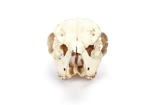 Crâne d'animal isolé sur une surface blanche