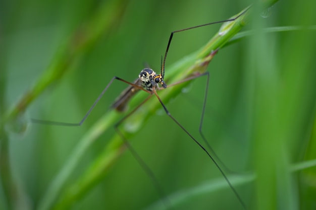 Crane fly (nephrotoma pratensis) assis sur une feuille