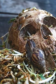Un crâne humain avec un gros escargot rampant sur le visage et une pourriture des haricots